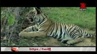 Download Rabid dog attacks tiger at Panna Tiger Reserve Video