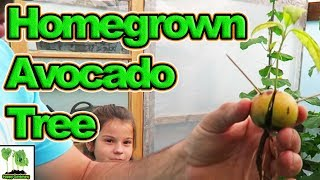Download How To Grow Avocado From Seed. Video