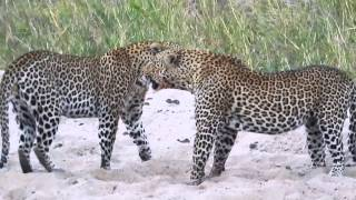 Download Wild South African Leopards Fight Video