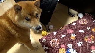 Download 柴犬の日常「イタズラしてしまうハチ」 Video
