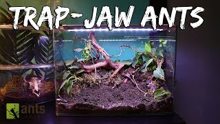 Download Ant Colony Spotlight: Trap-Jaw Ants (Live Feeding) Video