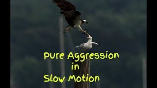 Download Slow motion Osprey V Gull Pure aggression Video
