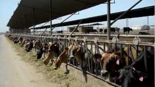 Download Best Dairy Cows: Sierra Desert Breeders Company Profile Video