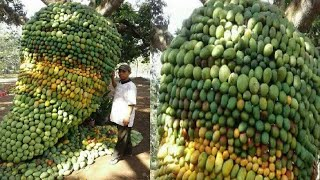 Download How To Harvest Mango ? - Mango Harvesting & Farming Video