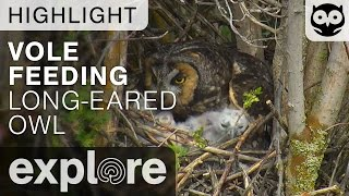 Download Owl Feeds Chick Vole - Long-eared Owl - Live Cam Highlight Video