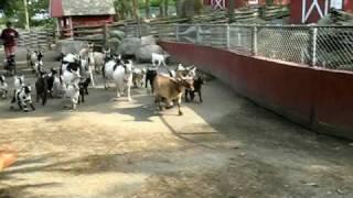 Download Goat Stampede Video