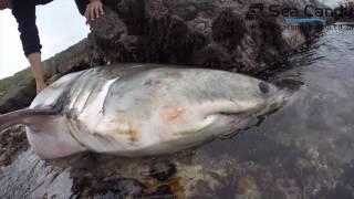 Download Great White shark dies Video