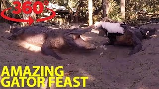 Download Extraordinary gator feeding frenzy in 360 Video