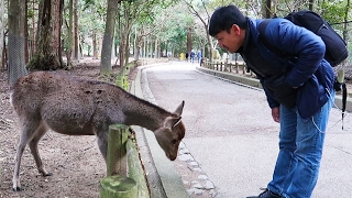 Download POLITE Bowing Deer of Nara Japan Video