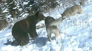 Download Grizzly Bears, Fighting Wolves In The Wild [Nature/Wildlife Documentary] Video