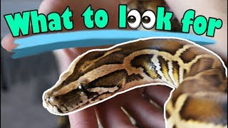 Download How to Buy a Healthy Snake! Video