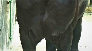 Download A Very Special Indian Marwari Stallion In Punjab Village - एक बहुत ही ख़ास घोड़ा ख़ास आपके लिए Video