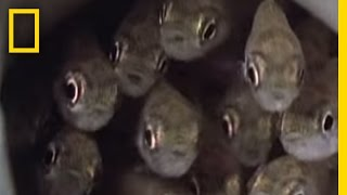 Download Killer Cuckoo Catfish | National Geographic Video