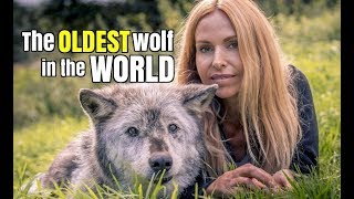 Download THE OLDEST WOLF IN THE WORLD Video