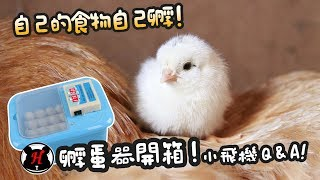 Download 食物自己孵!孵蛋器開箱!鵪鶉Q&A!【簡芝開箱】小雞01 Video