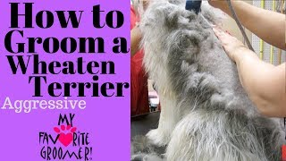 Download How to Groom a Wheaten Terrier Matted Video
