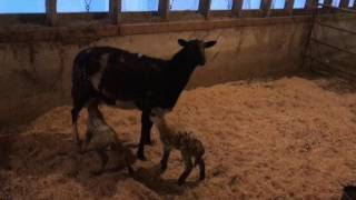 Download First time 🐑 mom || rejected babies || lambing season Video
