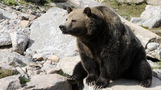 Download Wyoming approves first grizzly hunt in 44 years Video