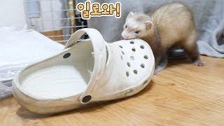 Download [ENG] 보물창고에 신발을 숨기는 페럿 ㅋㅋㅋ Video