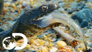 Download Deadly Swimming Snake Hunts Underwater For Fish | Wildest Europe Video