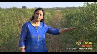 Download International Year of Pulses 2016 (Insights from Dr Mamta Sharma, ICRISAT) Video