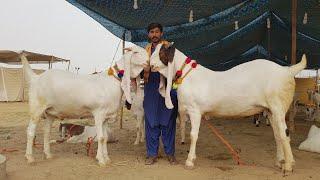 Download Heavy Weight Goats Gulabi Breed Video