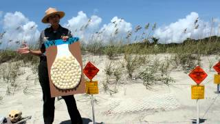 Download How to Help Save Loggerhead Sea Turtles- MyrtleBeach Video