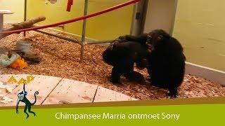Download Chimpansee Marria ontmoet soortgenoot Sony - Stichting AAP Video