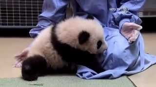 Download New Born Panda Cub Learning to Walk at San Diego Zoo Video