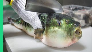 Download Eating Japan's POISONOUS PufferFish!!! ALMOST DIED!!! *Ambulance* Video