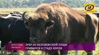 Download Зубр прибился к стаду коров в Кобринском районе Video