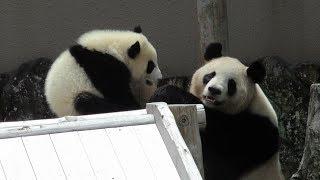Download 櫓で遊んでいた結浜、お母さんに引きずりおろされる!! Giant Panda Yuihin & Rauhin♪ Video