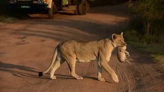 Download Lioness relocating her two cubs Video