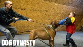 Download Hulk 'Attacks' 6-Year-Old Pit Bull Trainer | DOG DYNASTY Video