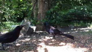 Download 30 Minutes with the Birds and Squirrels #3 (Livestream Version): Friday 05-19-2017 Video