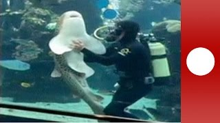 Download Friendly shark receives hugs and belly rubs from aquarium keeper Video