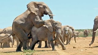 Download Mating Elephants - Latest Wildlife Sightings Video