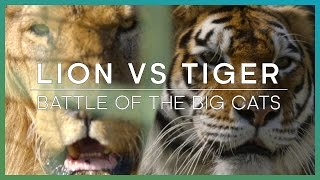 Download LION vs TIGER: Battle Of The Big Cats | BBC Earth Unplugged Video