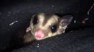 Download The could but did not bite sugar glider from the fair recheck Video