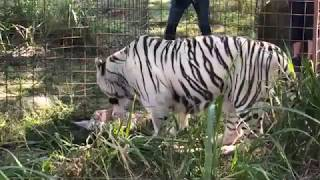 Download Sapphire Tiger is getting her Thanksgiving Turkey! BigCatRescue.org/tuesday Video