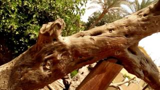 Download شجرة السيدة العذراء مريم والسيد المسيح بالمطرية - رحلة العائلة المقدسة . Video