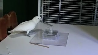 Download Cacatua goffiniana using and making tools Video
