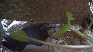 Download Puffin Burrow Cam 06-17-2018 14:07:01 - 15:07:01 Video