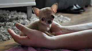 Download Najmniejszy pies świata? Oto Toudi z Wrocławia Video