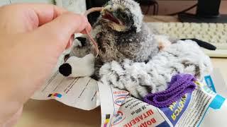 Download Метаморфозы маленькой совы с 9 по 16 день от вылупления. Совёнок ястребиной совы. Hawk owl baby Video