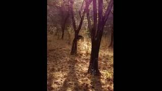 Download Rare Sighting of Sloth Bear in Ranthambore Tiger Reserve Zone 5, Rajasthan Video