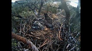Download Big Bear Eagle Cam ~ Goodbye Sweet Baby ~ Triple B Dies On Nest 3.23.18 Video