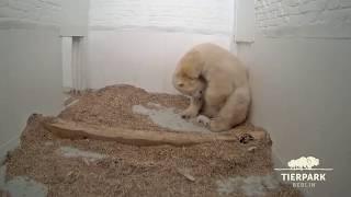 Download Der kleine Eisbär wächst - Little polar bear is growing Video