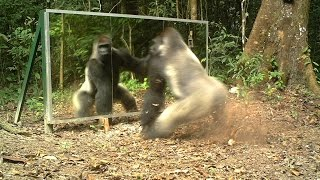 Download Silverback always shows aggressiveness towards mirrors - Le dos argenté agresse toujours son reflet Video