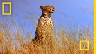 Download Cheetah vs. Gemsbok   National Geographic Video